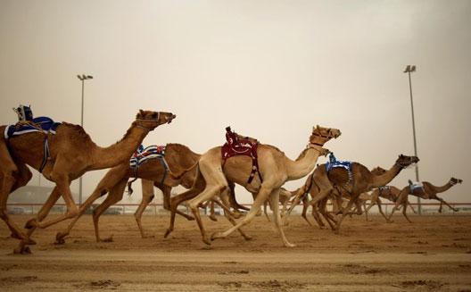 Al Jaith designs a 'FitBit' for camels