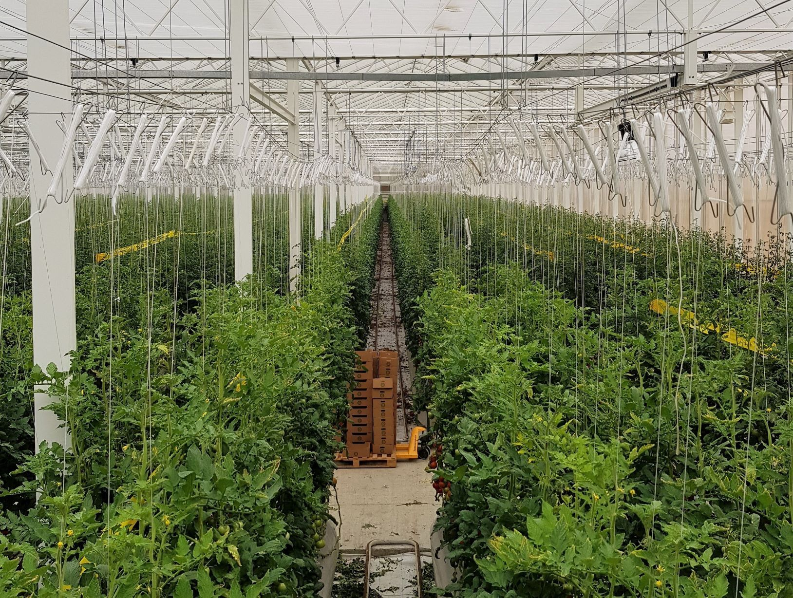 How do you grow tomatoes in the desert?